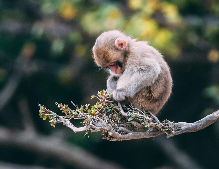 monkey-hainan-min.jpg